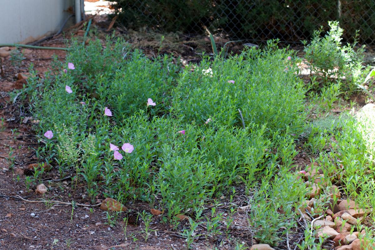 Fotos gratis flor hierba jard n rosado flora for Hierba jardin