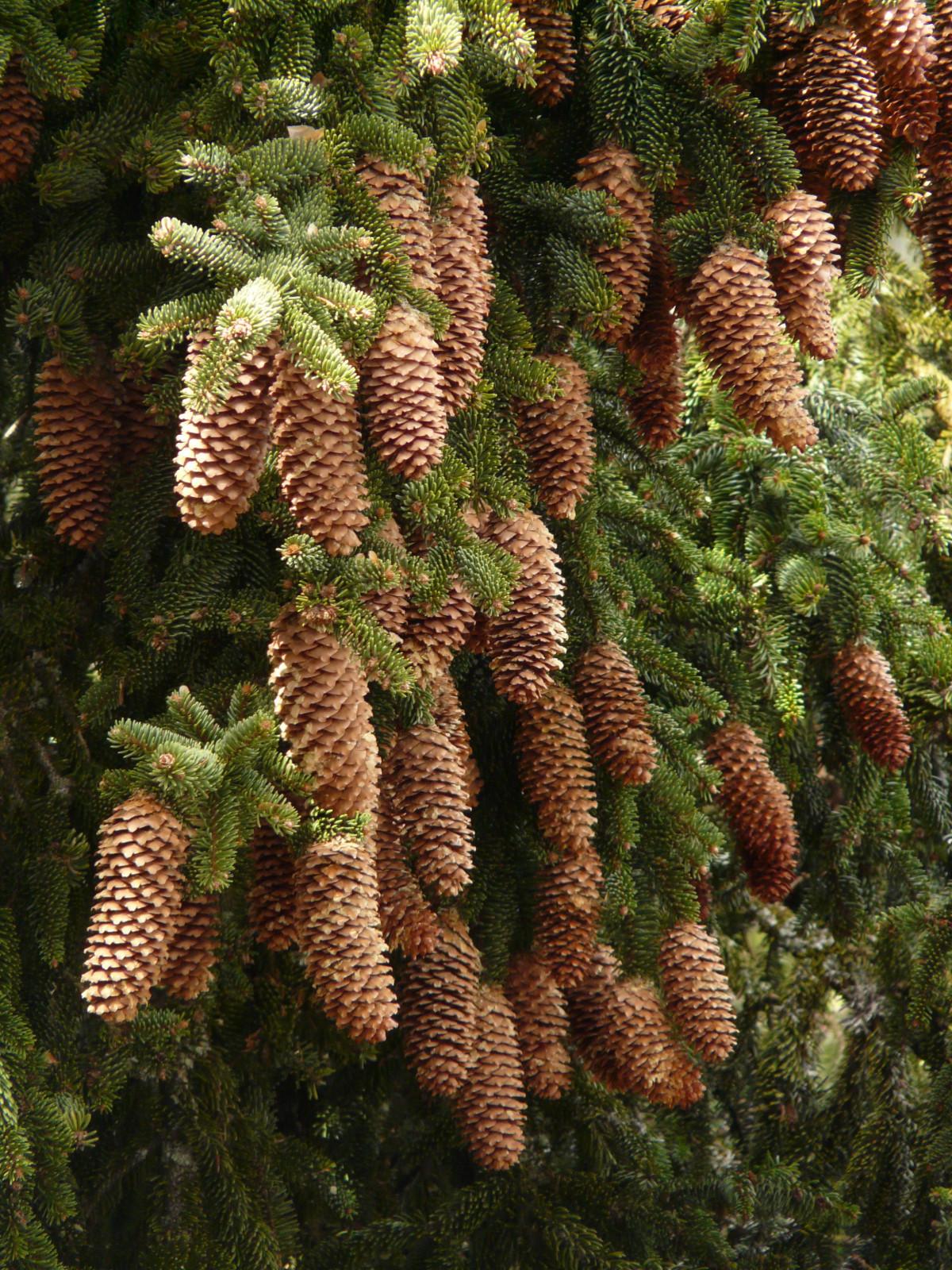 Images gratuites arbre branche plante fleur m r for Arbres a feuilles persistantes