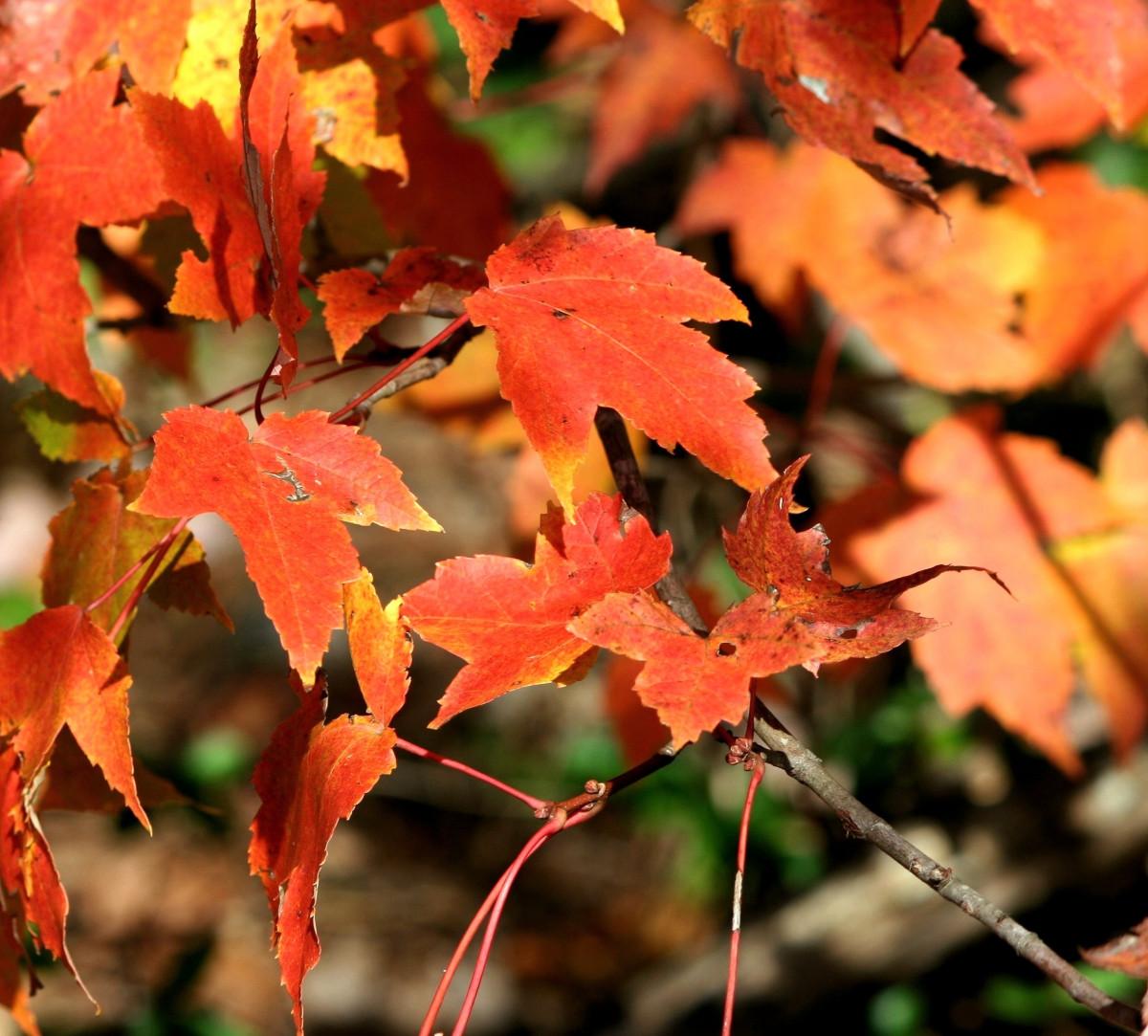 Цветок листья как у клена