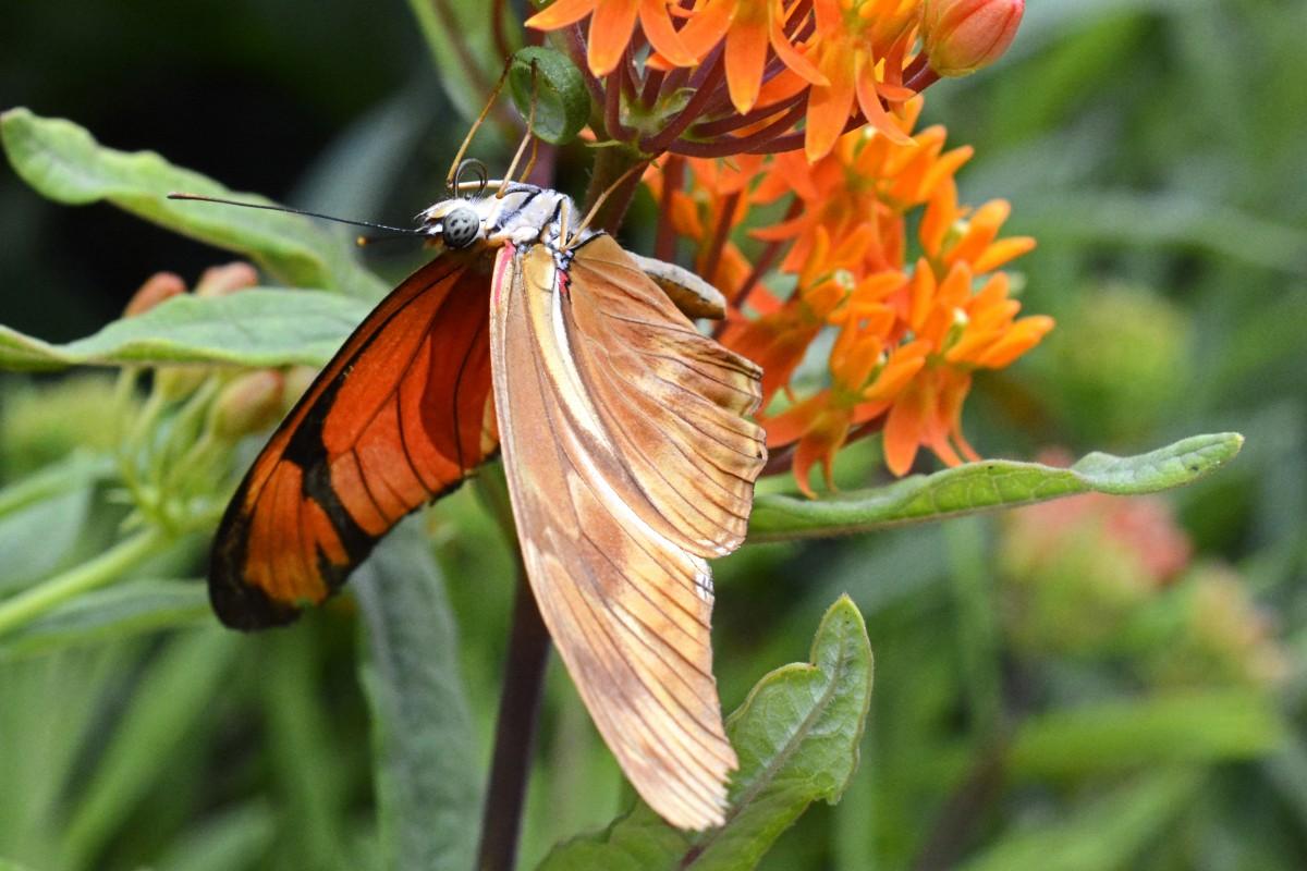Monarch butterfly eyes