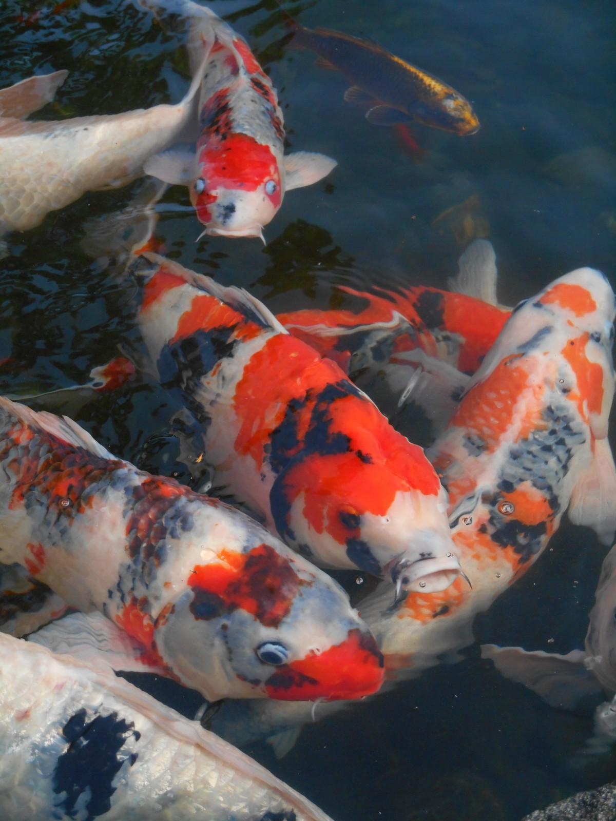 Free Images : pond, japan, vivid, koi, aquarium fish, colored carp ...