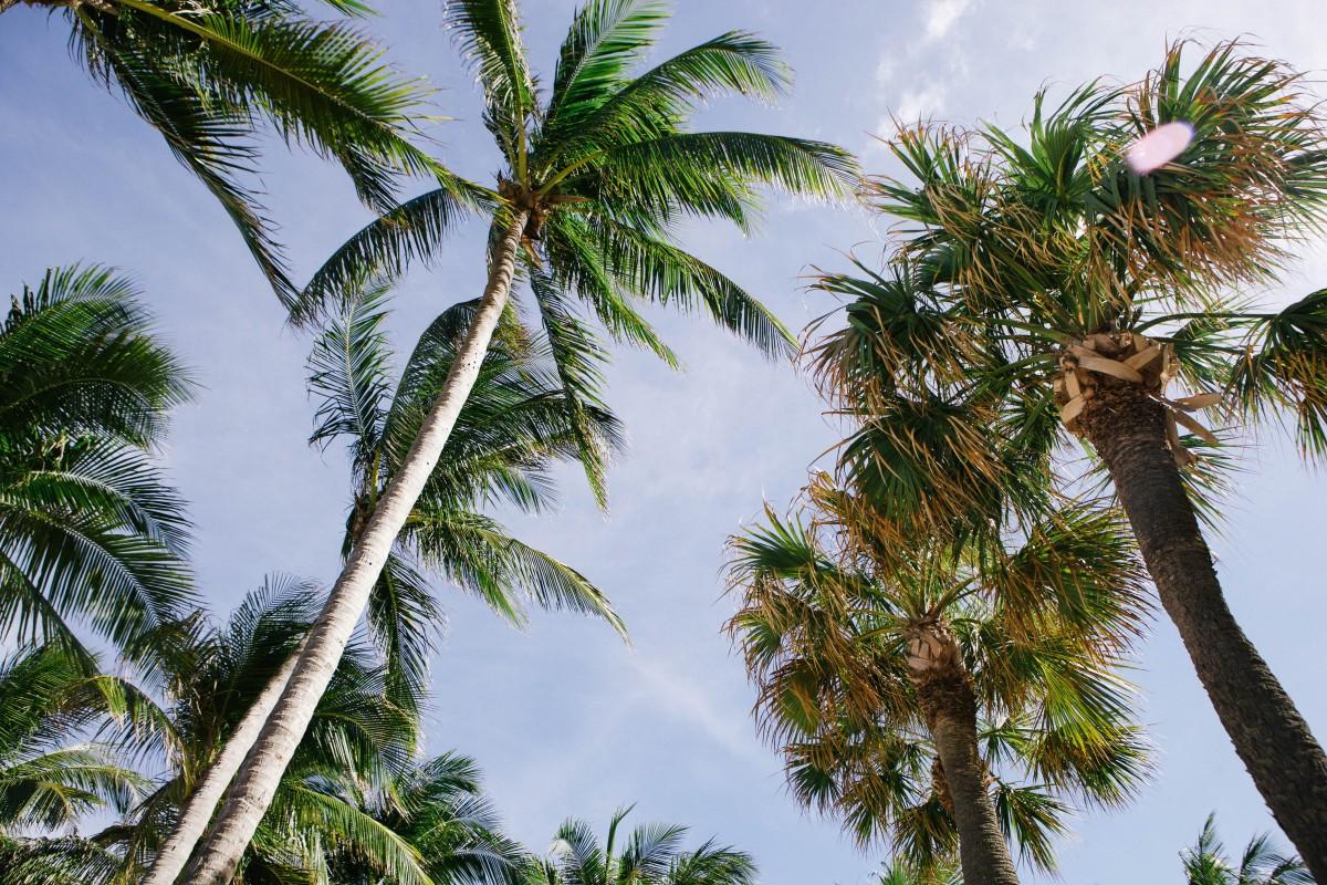Immagini belle albero palma fiore palma botanica for Palma pianta