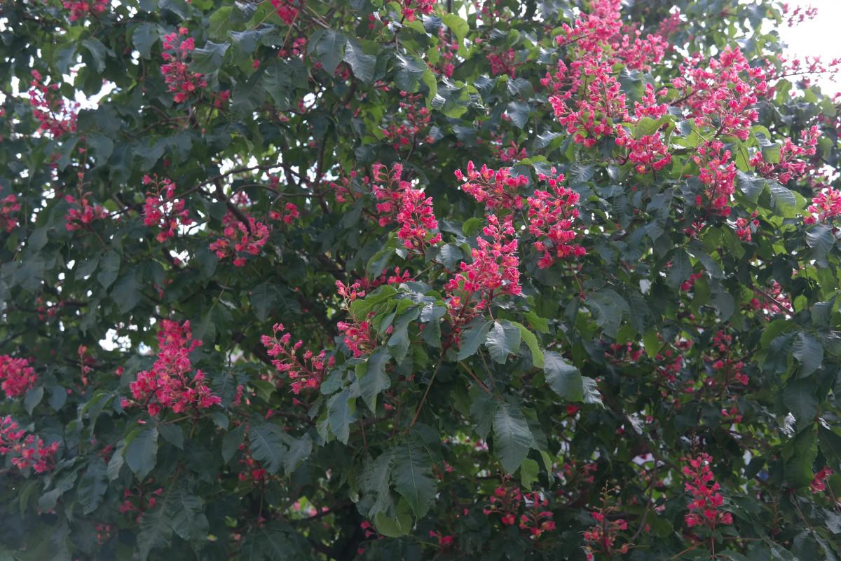Images gratuites arbre fleur feuille floraison for Plante feuille rouge