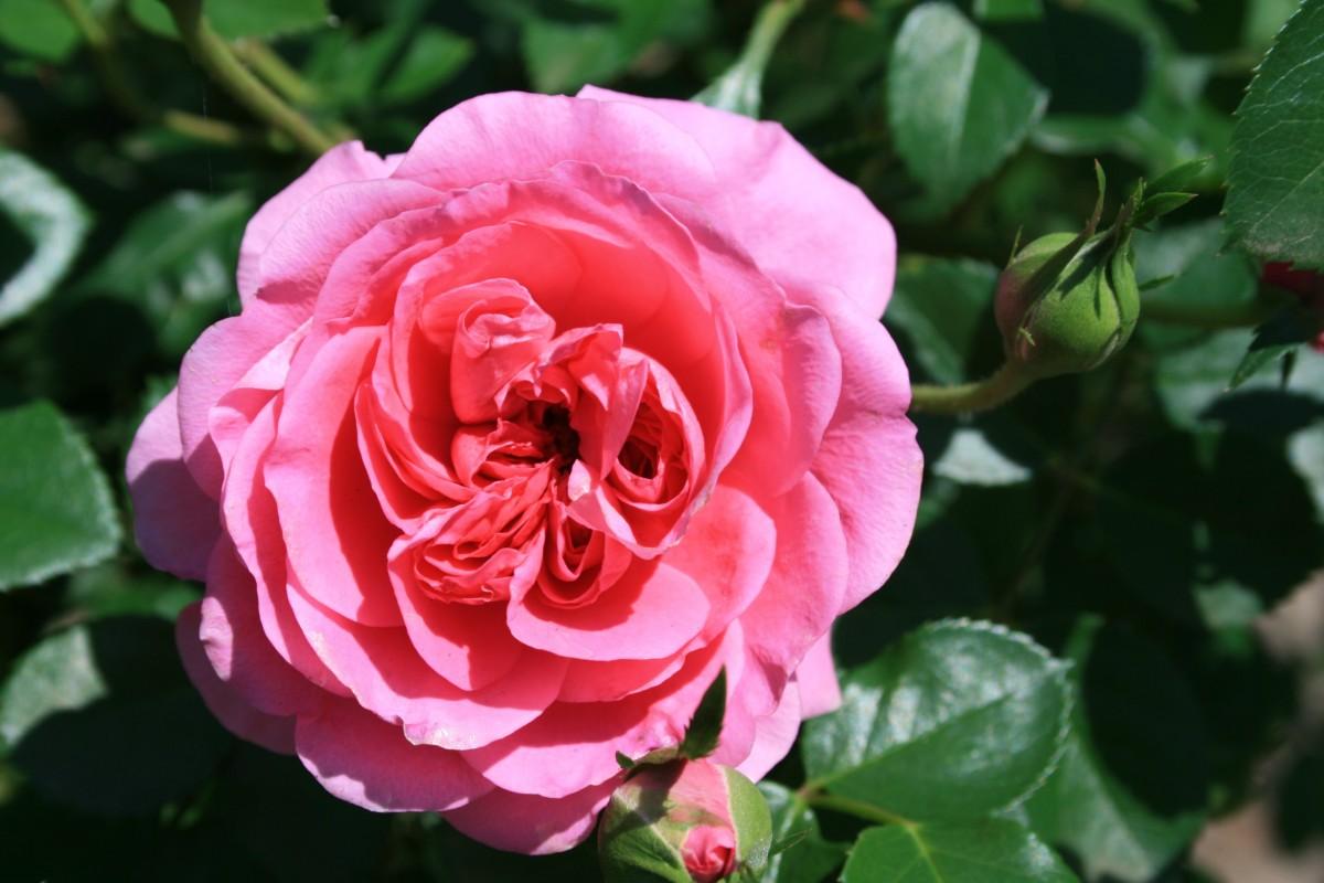 Free Images Flower Petal Pink Petals Shrub Double Deep Beautiful English Delicate Floribunda Flowering Plant Garden Roses Rose Family