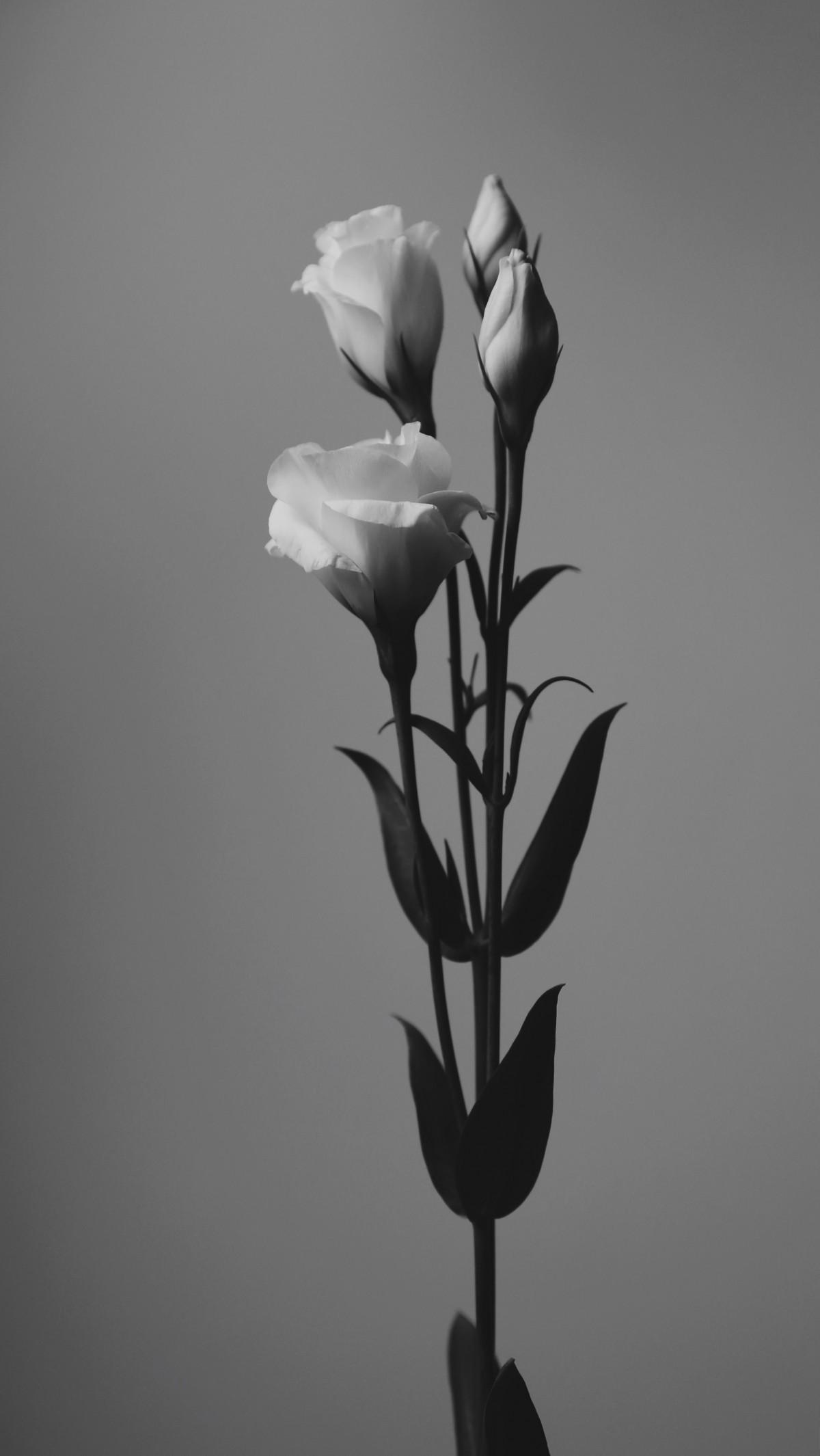 Images Gratuites : noir et blanc, fleur, pétale, tulipe, bouquet, vert, Nikon, 50mm, dessin ...