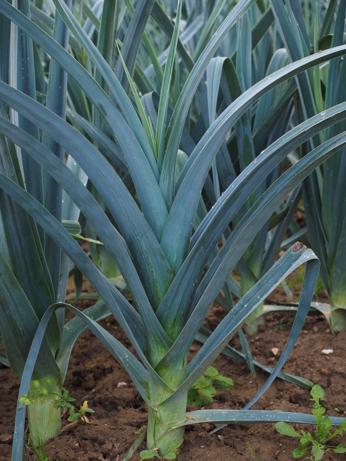 Aloe In Giardino immagini belle : fiore, produrre, biologia, botanica