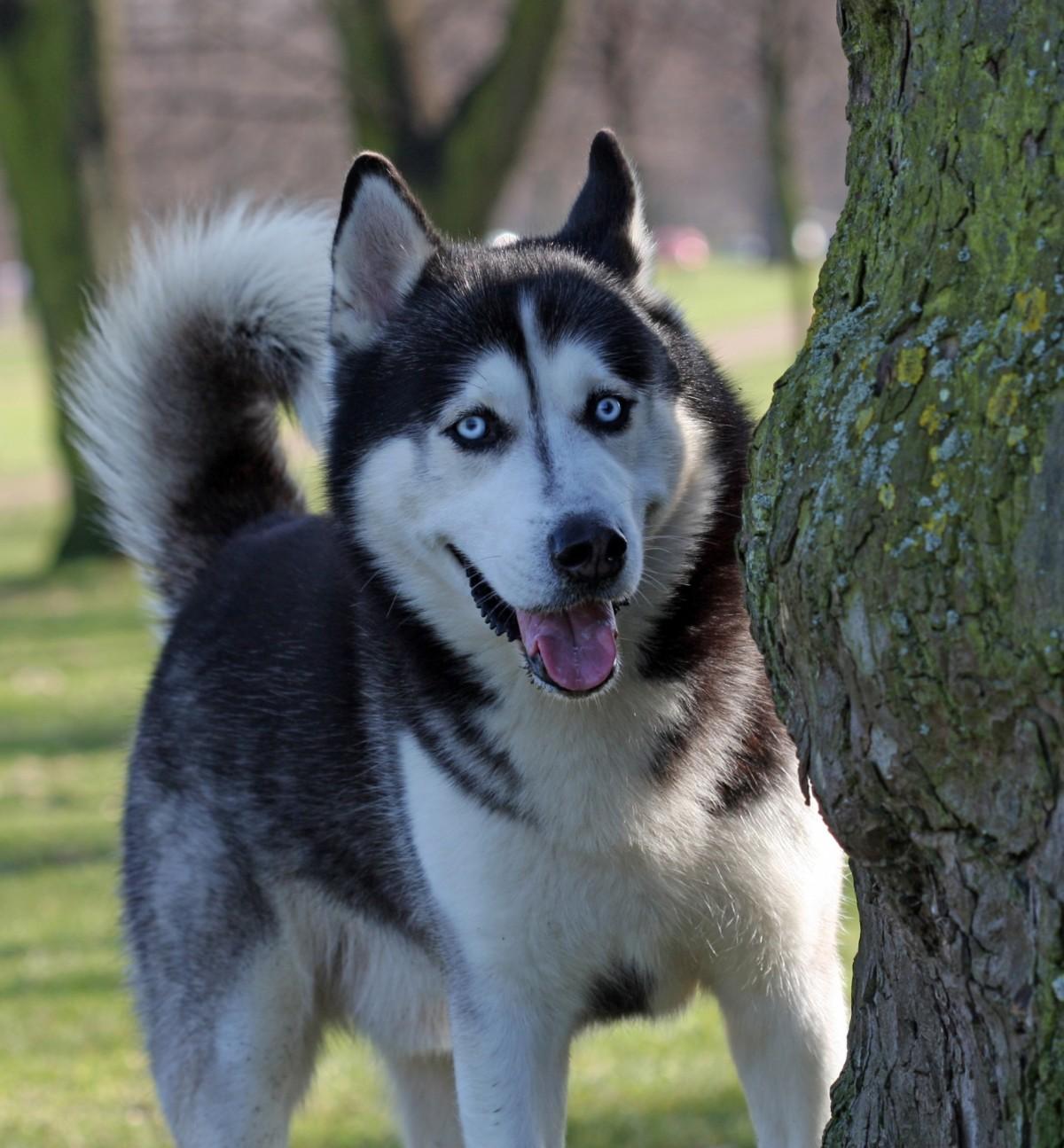 Preferenza Immagini Belle : vertebrato, cane di razza, cane da slitta, Akita  NU04