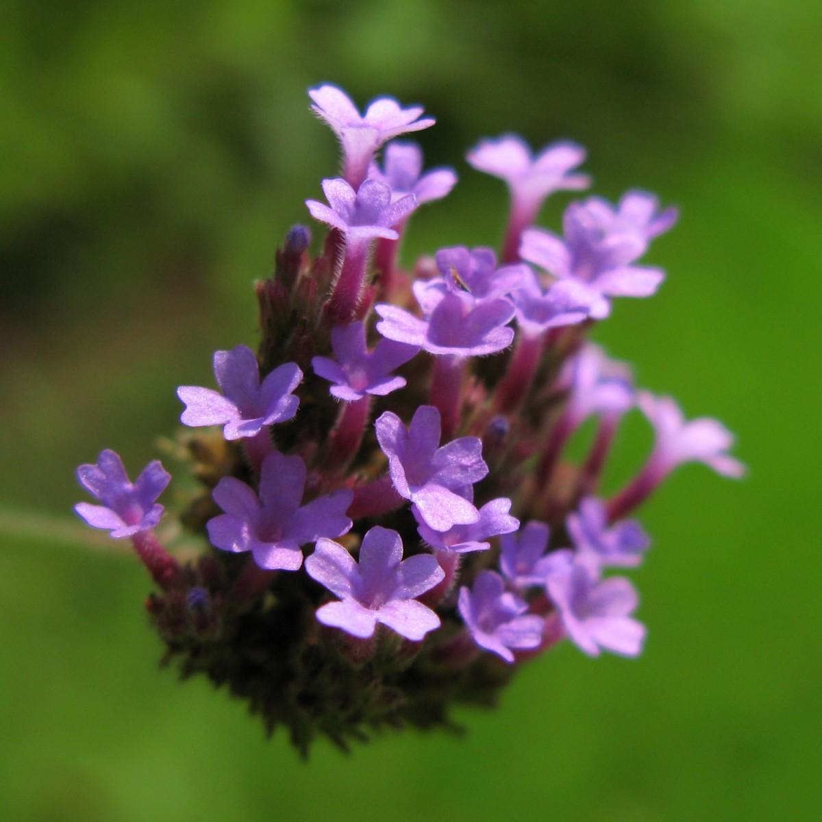 kostenlose foto gras bl hen blume lila fr hling kraut nat rlich botanik blau set. Black Bedroom Furniture Sets. Home Design Ideas