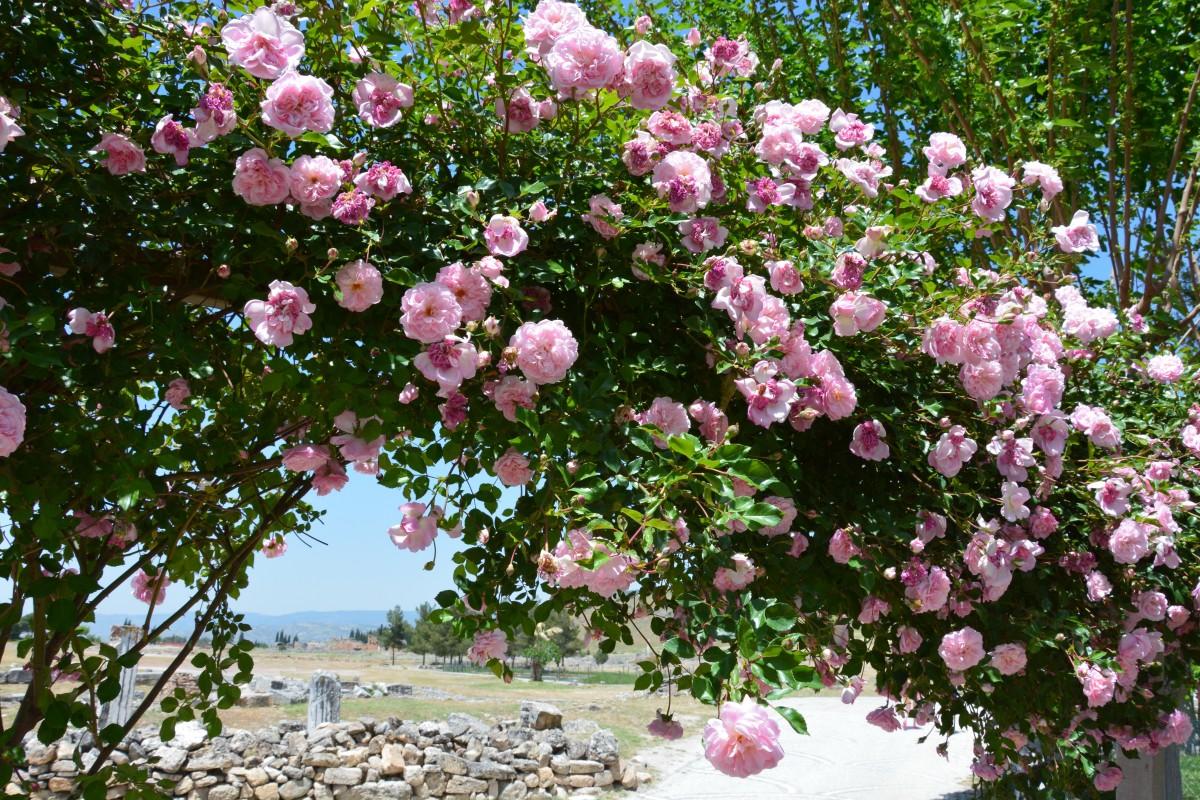 Куст розы в саду картинки