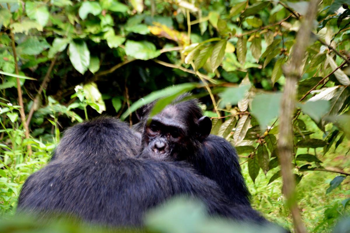 wildlife mammal fauna primate chimpanzee vertebrate chimps macaque spider monkey tropical forest great ape new world monkey