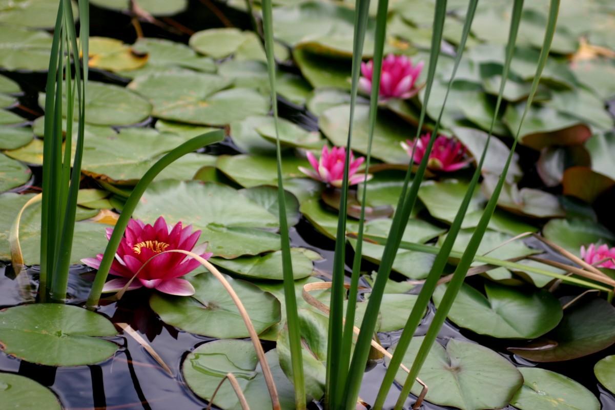 Immagini belle foglia fiore petalo stagno botanica for Stagno artificiale