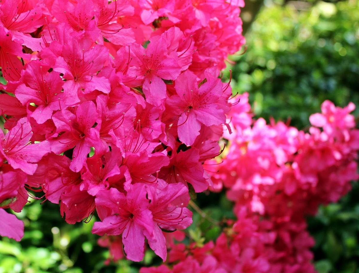 Free images blossom flower petal bloom bush spring red pink blossom plant flower petal summer bush mightylinksfo