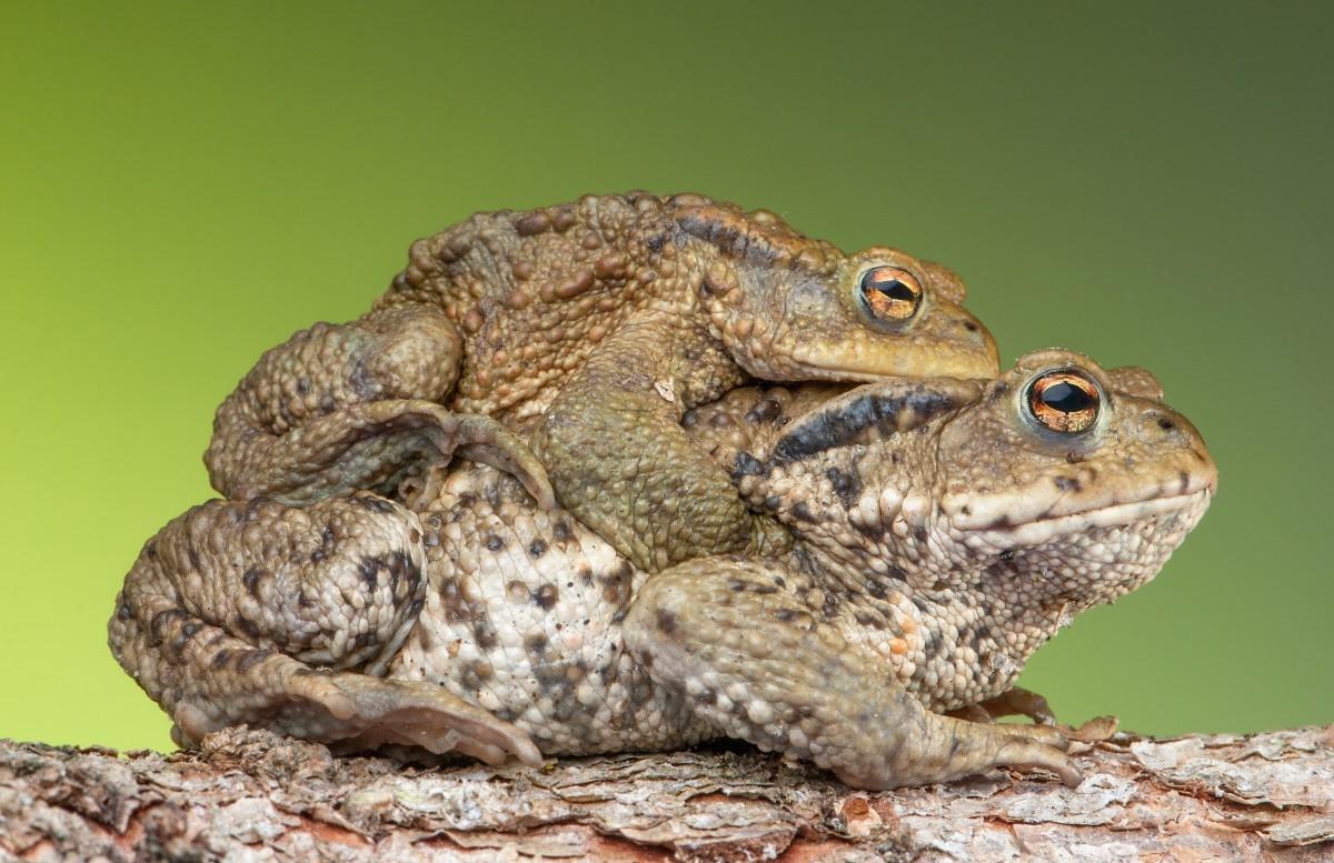 Reproducción-de-anfibios-es-ovíparo
