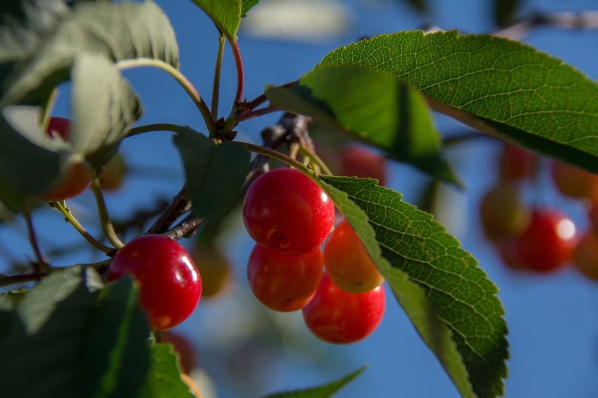 Images gratuites arbre branche fruit baie feuille - Arbre feuille rouge fruit rouge ...