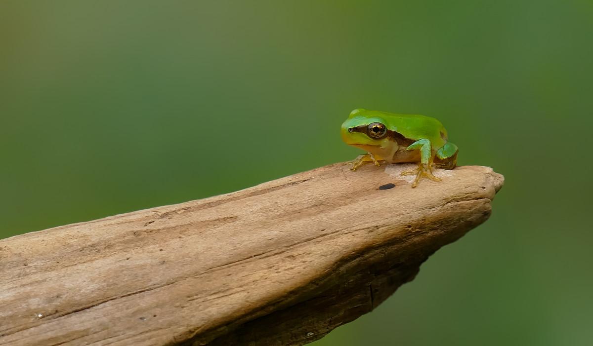 Images gratuites faune insecte macro punaise grenouille amphibie invert br rainette - Insecte vert volant ...