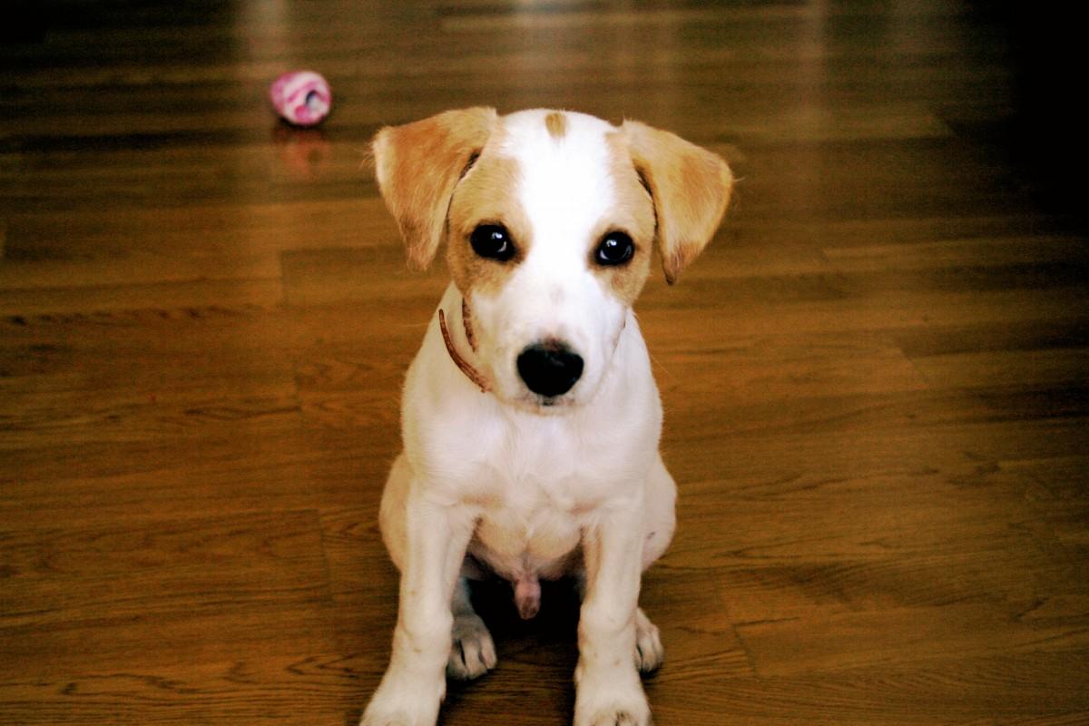 รูปภาพ : ลูกสุนัข, หมา, สัตว์เลี้ยงลูกด้วยนม, สัตว์มี ... | 1200 x 800 jpeg 193kB