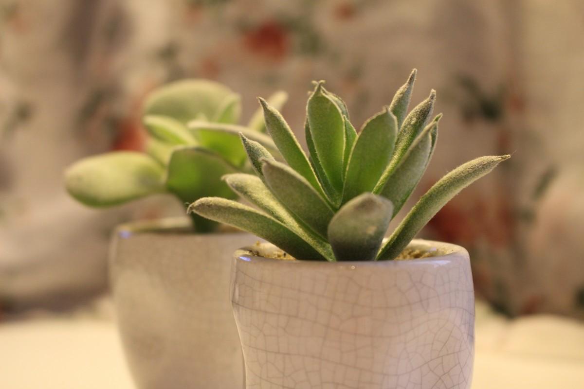Комнатный цветок суккулент фото