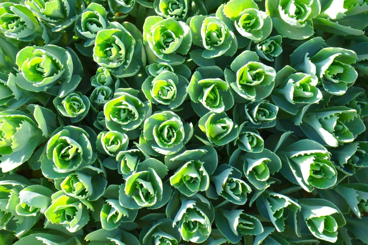Images gratuites feuille fleur p tale vert botanique for Plante 7 feuilles