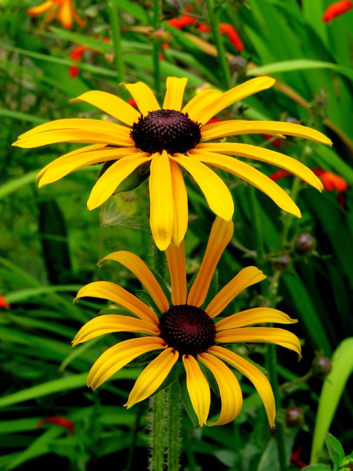 Садовые солнечные цветы