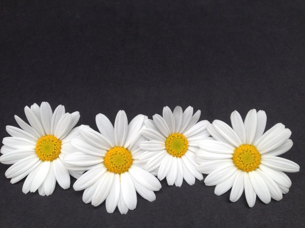 รูปภาพ ปลูก ขาว กลีบดอกไม้ ดอกเดซี ตกแต่ง