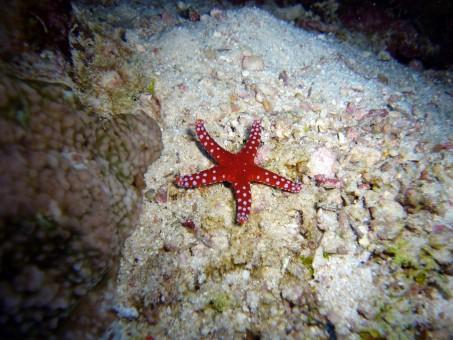 kostenlose foto : wasser, unterwasser, biologie, blau, seestern, wirbellos, echinoderm