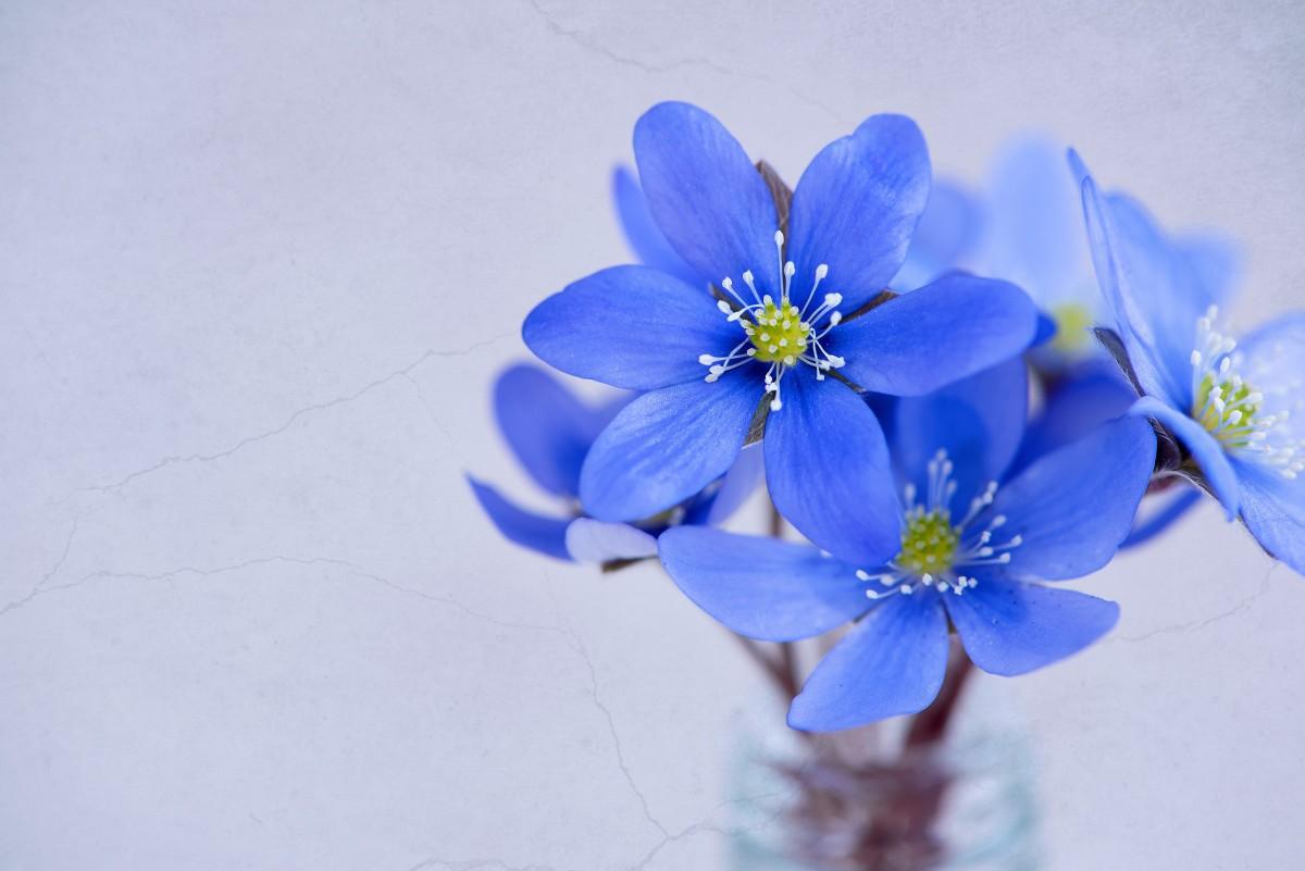 Free images blossom petal flora blue flower wildflower blossom plant flower petal spring blue close flora blue flower wildflower flowers close up petals hepatica mightylinksfo