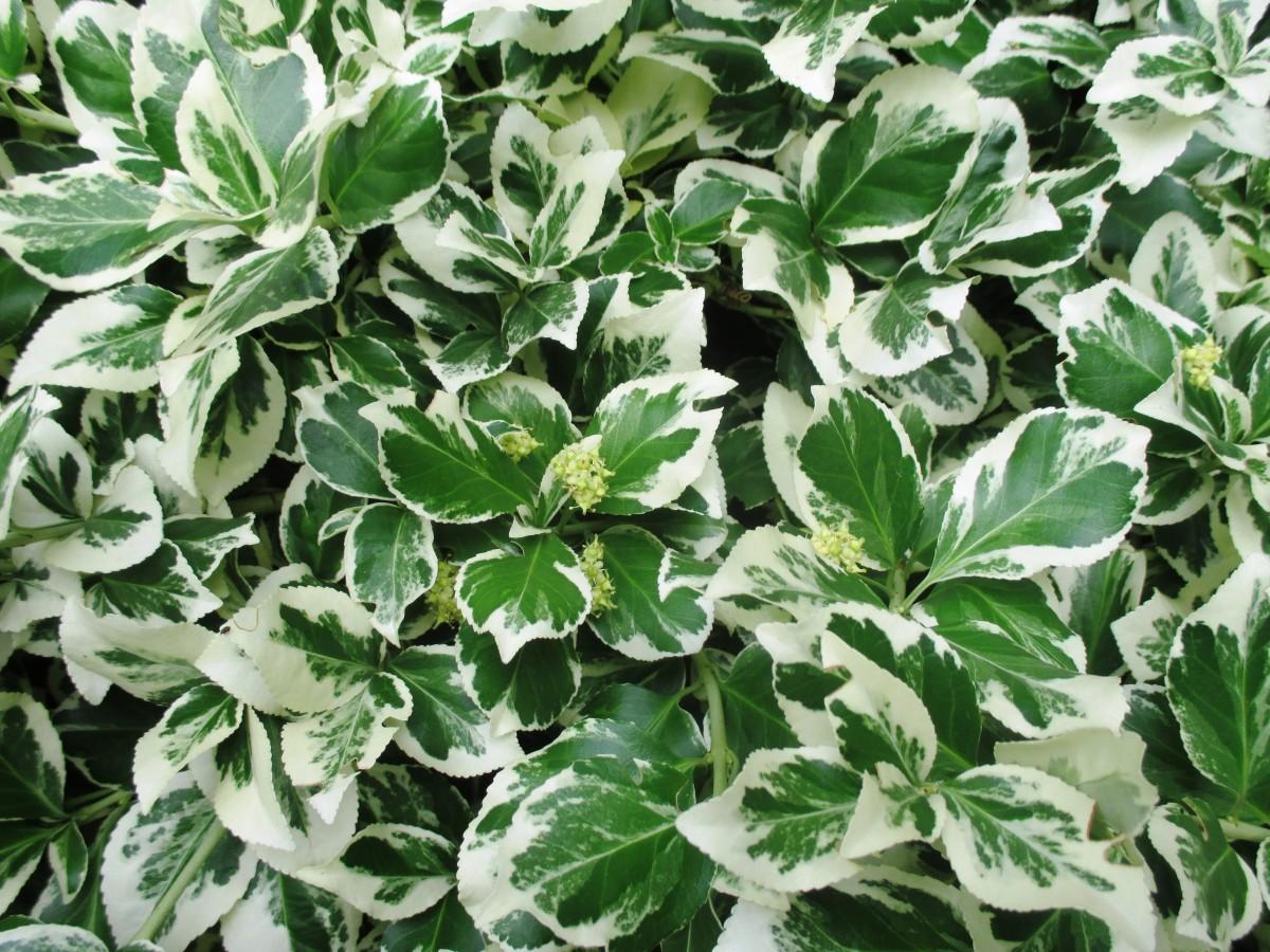 kostenlose foto wei blatt blume busch gr n kraut produzieren efeu immergr n botanik. Black Bedroom Furniture Sets. Home Design Ideas