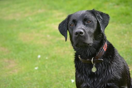 Free Images : puppy, vertebrate, flat coated retriever ...