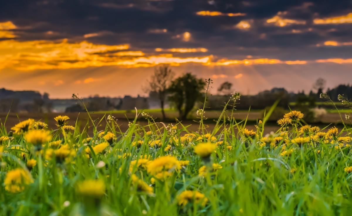 nature sunset grass dandelion - photo #20