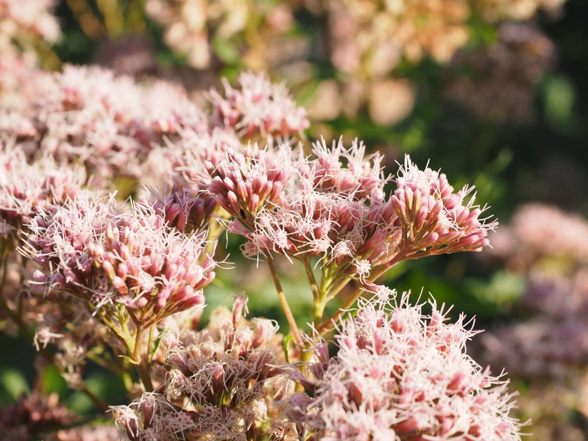 kostenlose foto bl hen blume bl tenblatt gr n botanik garten rosa flora wildblume. Black Bedroom Furniture Sets. Home Design Ideas