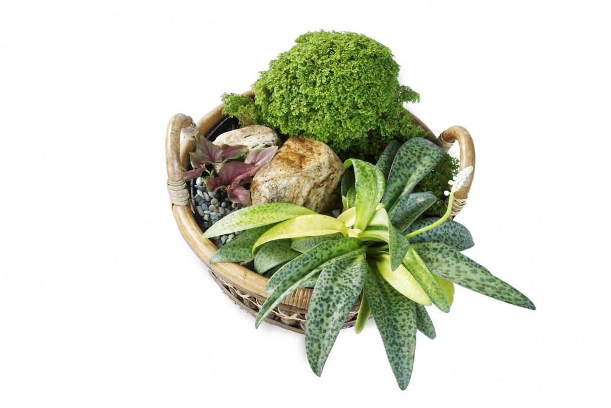 Free images leaf flower green herb produce garden for Planta ornamental venenosa dieffenbachia