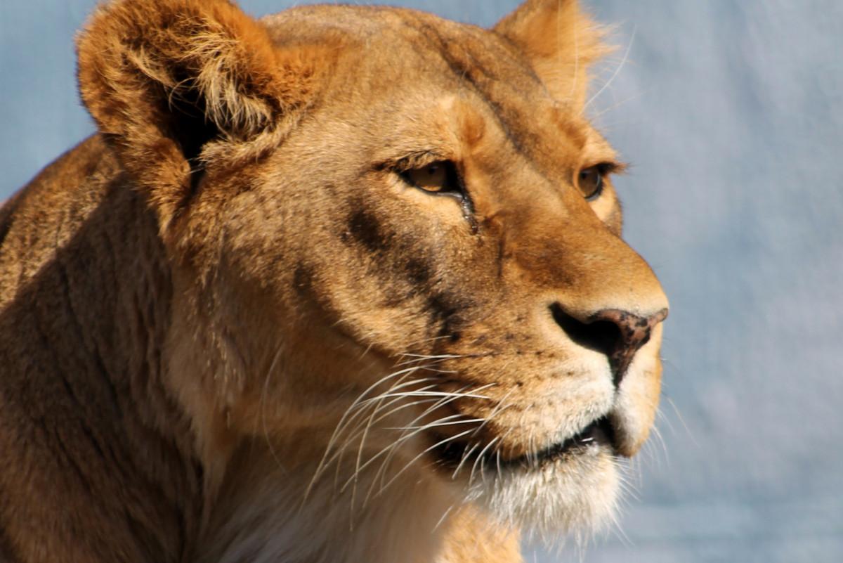 8k Animal Wallpaper Download: Free Images : Wildlife, Zoo, Africa, Feline, Mane, Fauna