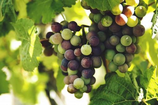 Images Gratuites : grain de raisin, bouquet, fruit, doux..