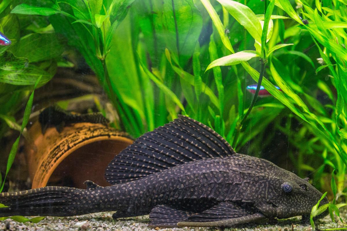 Pet Reptile Fish Fauna Aquarium Vertebrate Wels Freshwater Honeycomb Signs Catfish