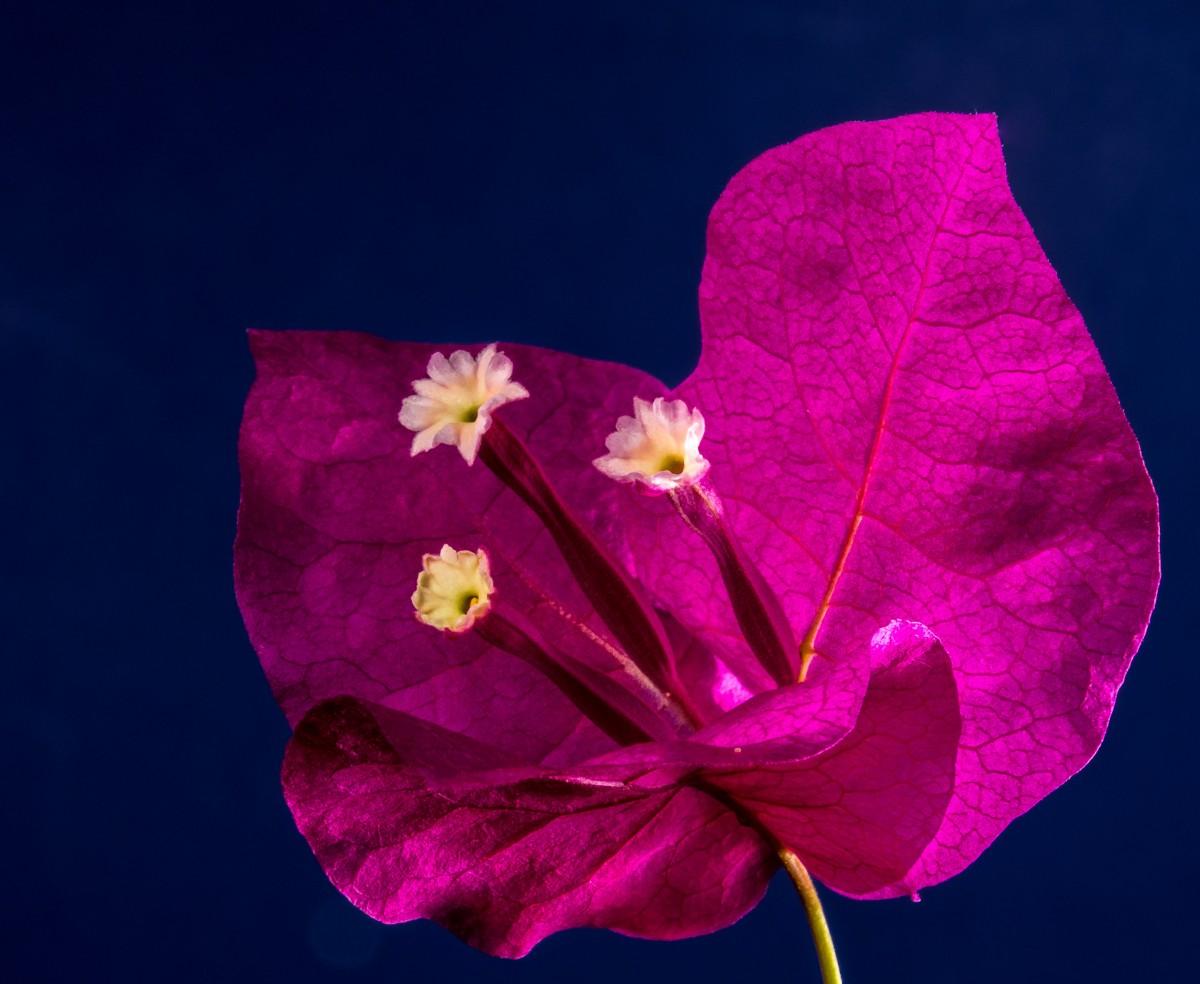 Bougainville Fleur se rapportant à images gratuites : arbre, branche, ciel, feuille, pétale