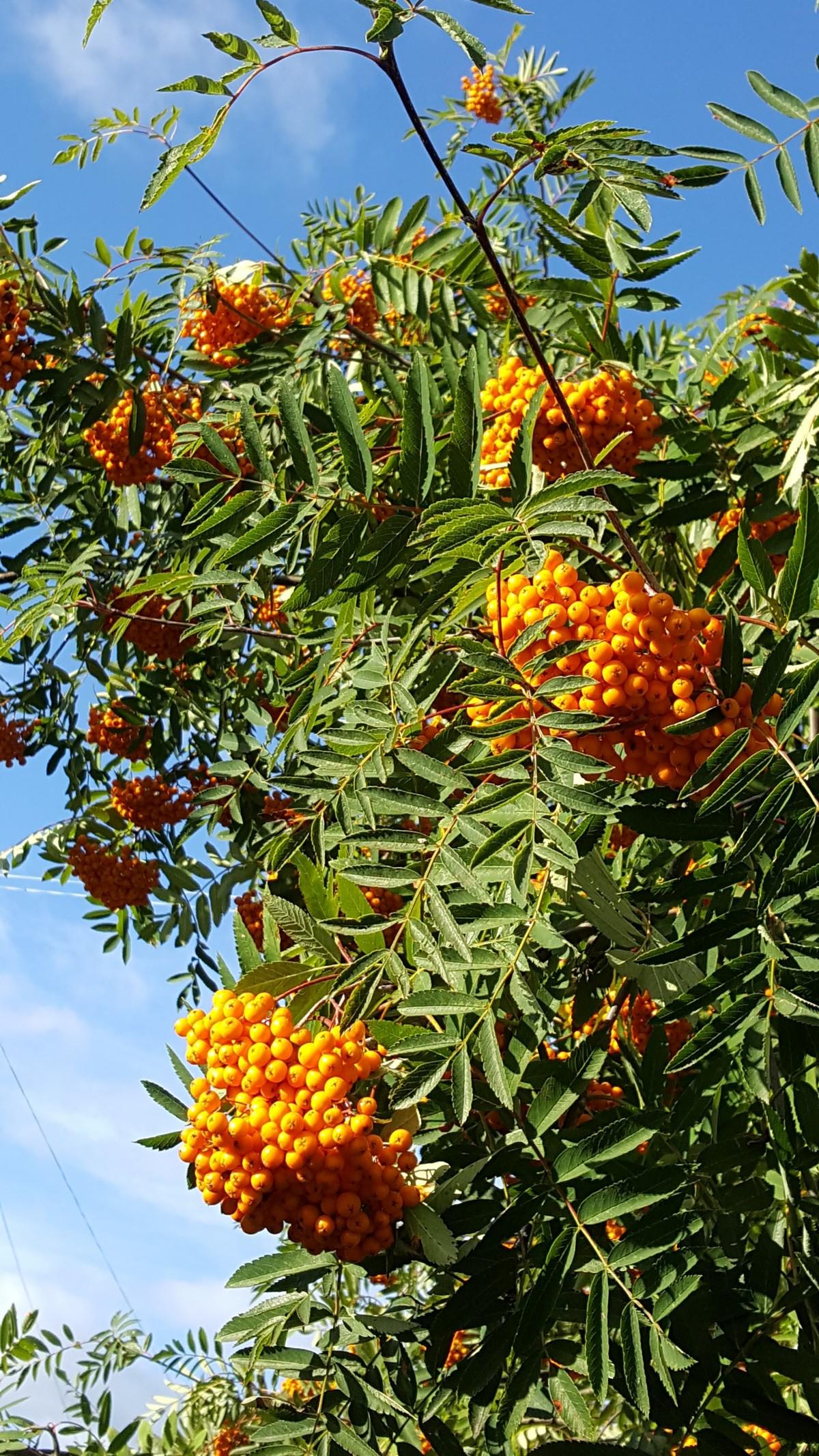 Fotos gratis rbol rama fruta baya hoja flor for Arbol rojo jardin