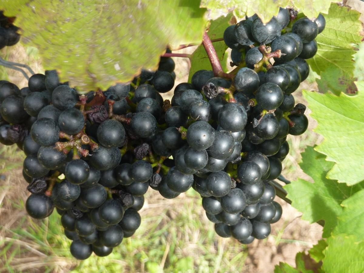 Szőlő Gyümölcsök: Ingyenes Képek : ág, Szőlő, Gyümölcs, Bogyó, Virág