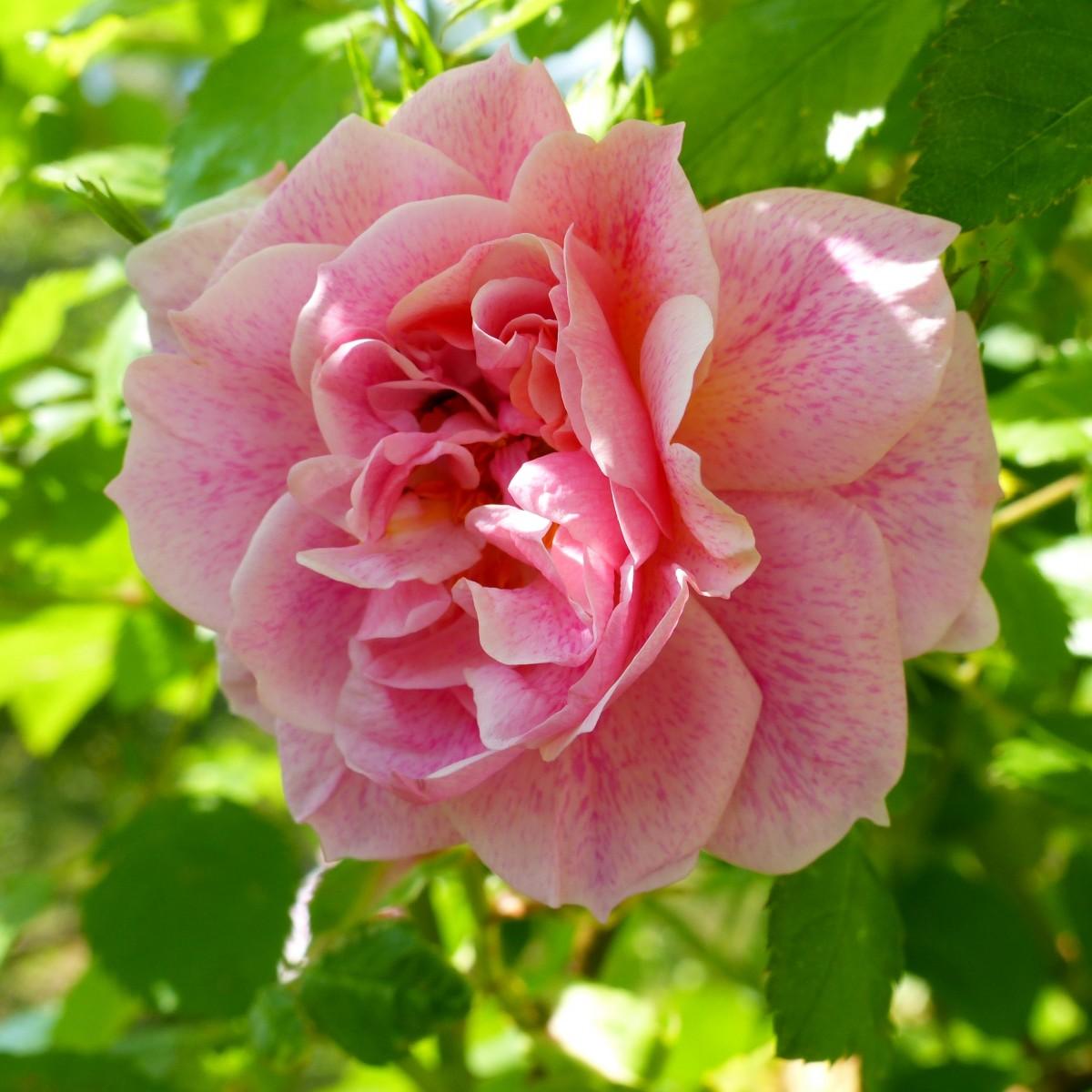 Free Images : Flower, Purple, Petal, Summer, Pink, Flora