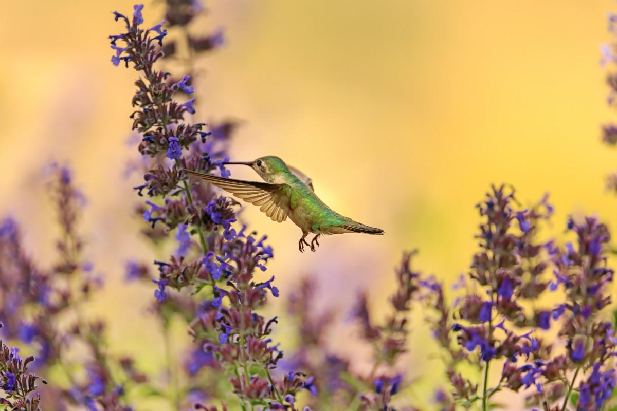 bird, hummingbird, fauna, flora, wildlife, lavender, morning, beak, pollinator, english lavender, spring, flower, nectar, Free Images In PxHere
