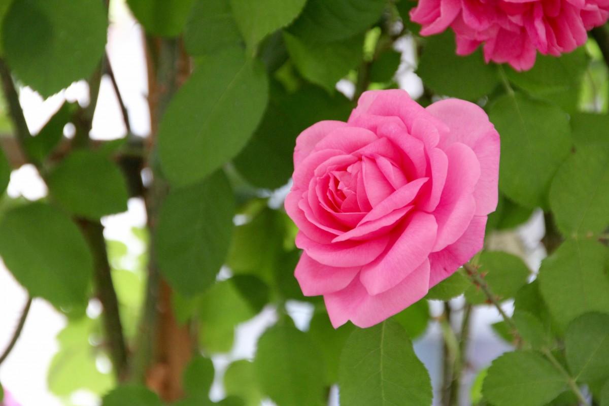 free fotobanka kv t okv tn l stek ke floribunda bayreuth kvetouc rostlina zahradn. Black Bedroom Furniture Sets. Home Design Ideas