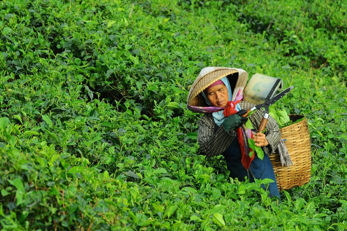 trabajando bosque césped persona mujer campo granja césped té hoja flor asiático comida verde selva cultivo sombrero agricultura jardín cesta agricultor cultivo hojas al aire libre selva plantación habitat cosecha orgánico área rural cosecha trabajo duro