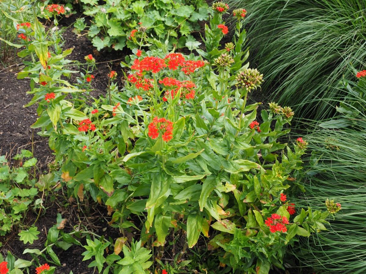 Лихнис: выращивание, посадка и уход - Садовые цветы и 3