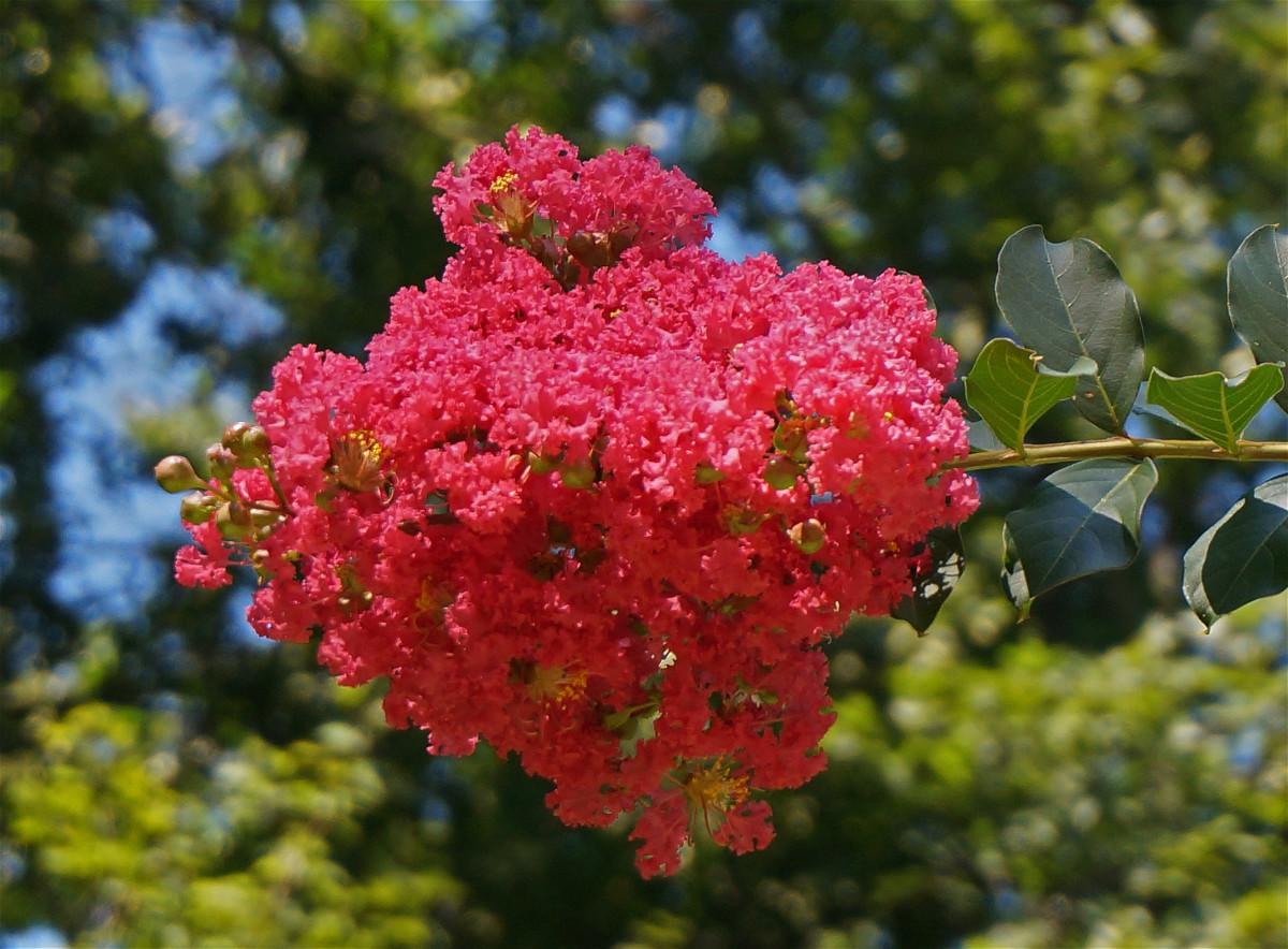 images gratuites arbre la nature branche fleur fruit baie floraison t aliments. Black Bedroom Furniture Sets. Home Design Ideas