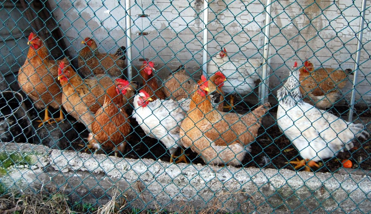 Rahasia Cara Beternak Ayam Agar Cepat Besar? Kulik Cara Lengkapnya di Sini