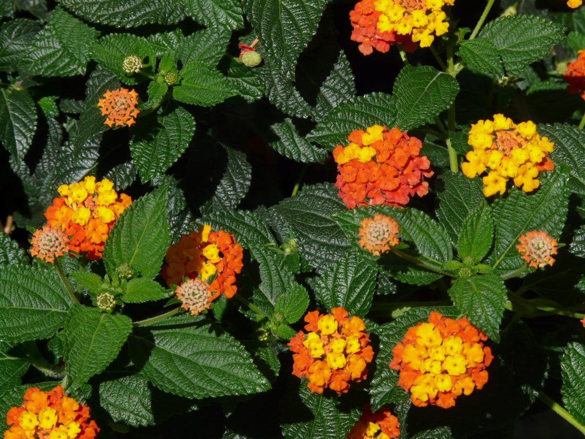 Images gratuites fleur floraison orange rouge botanique jaune jardin flore arbuste - Arbuste floraison printaniere jaune ...