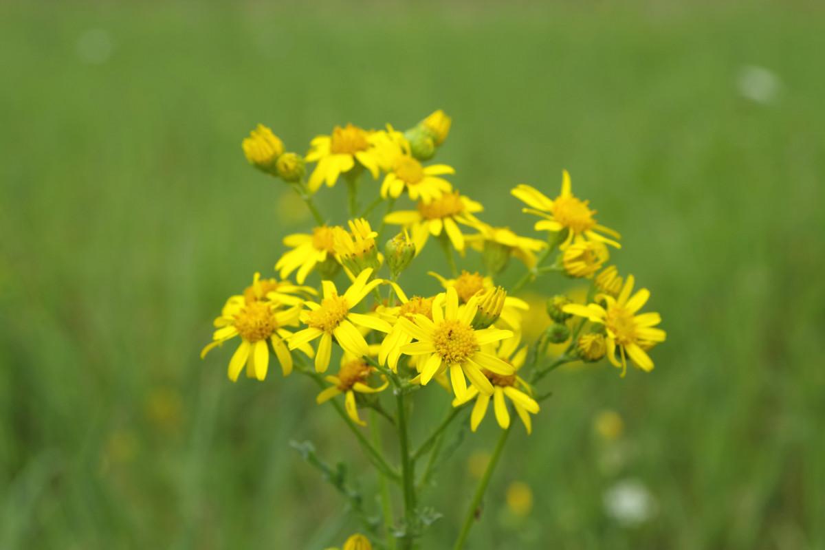 Images gratuites la nature prairie prairie fleur for Plante jaune