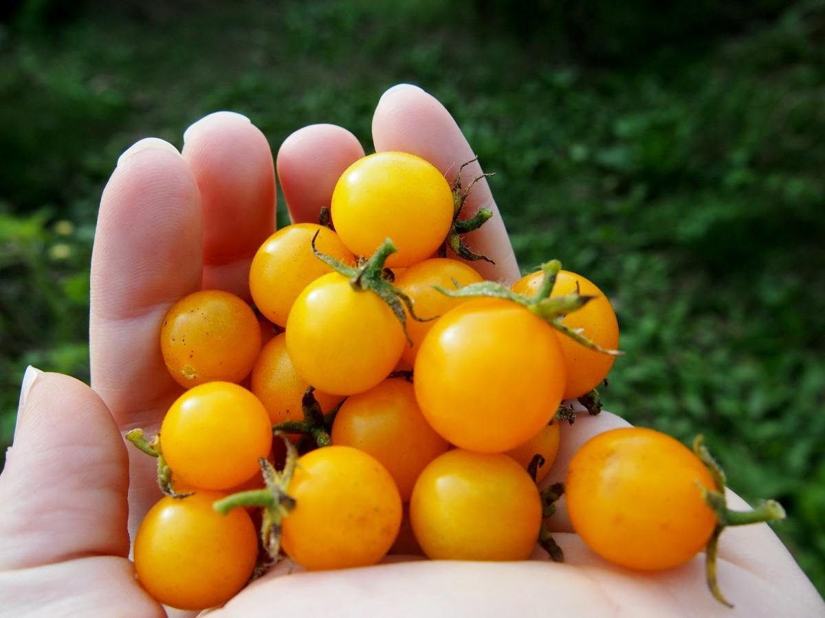 заинтересованы желтый томат картинки был одним