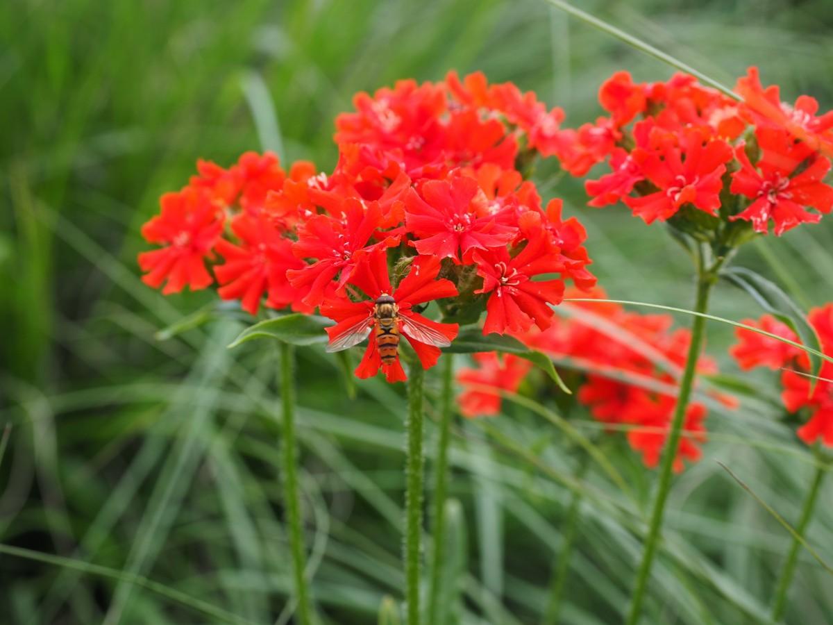 Лихнис: выращивание, посадка и уход - Садовые цветы и