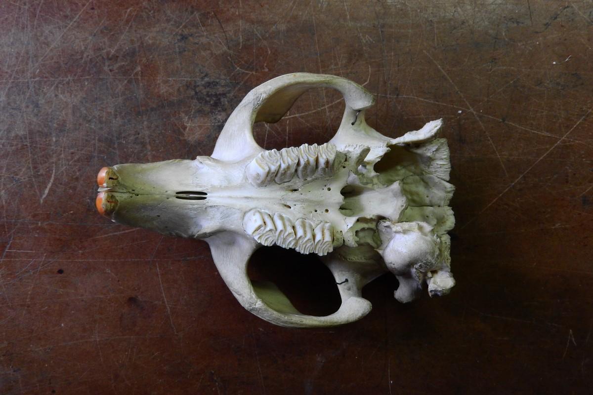 Fotos gratis : ciervo, cuerno, cráneo, material, hueso, cabeza de ...