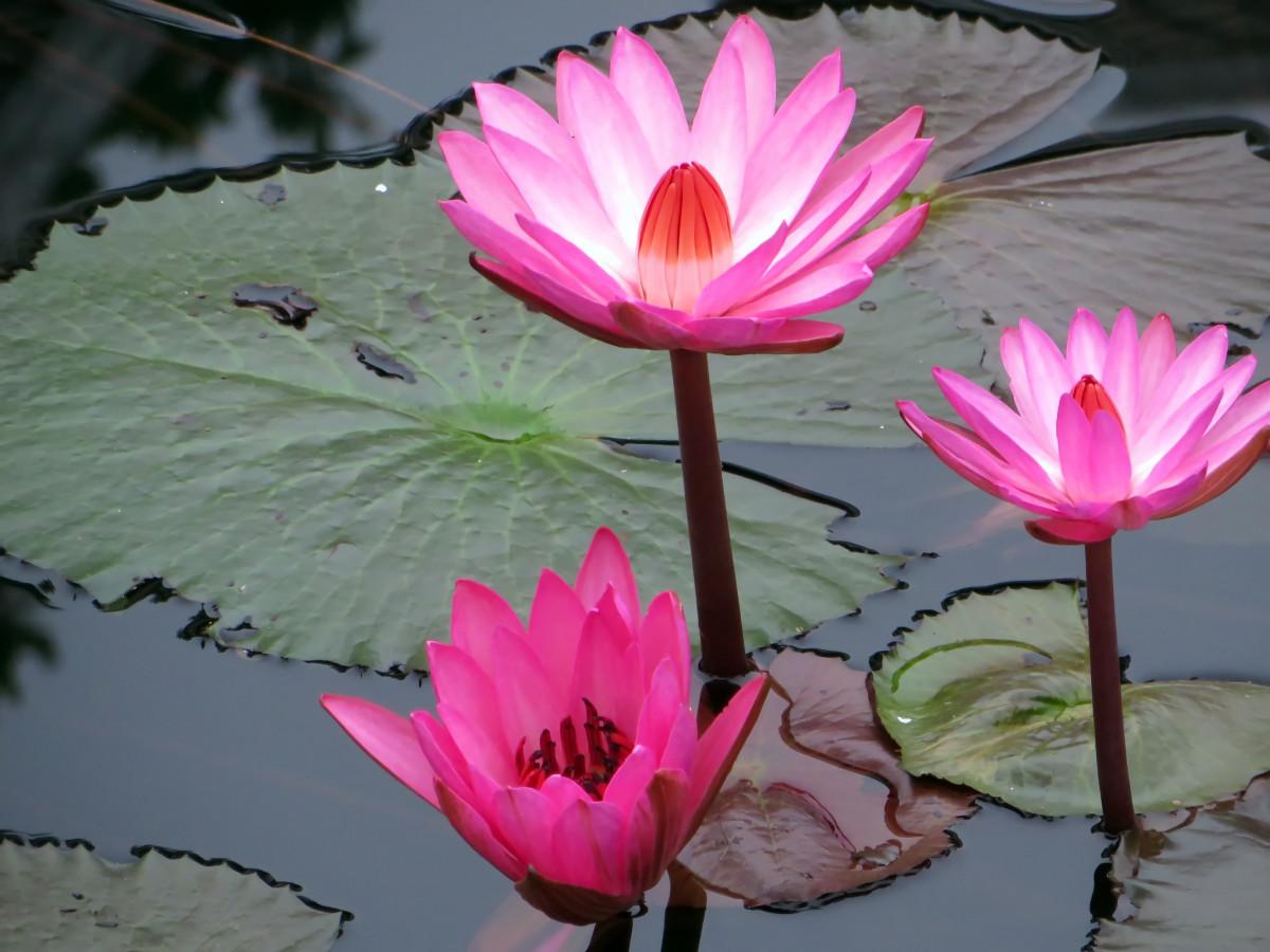 Images Gratuites Fleur P 233 Tale Printemps Asie Rose Lotus Sacr 233 Plante Aquatique Flore